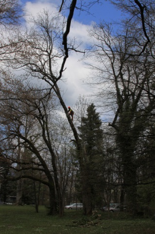 Removal of dry branches on an ash tree