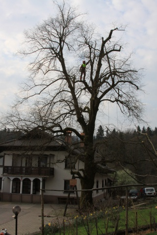 Saw-trimming a linden tree in Dvorje near Moravče