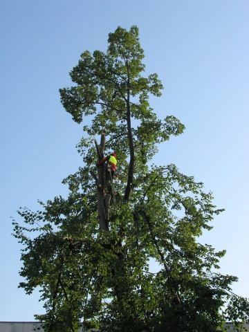 Felling a linden tree