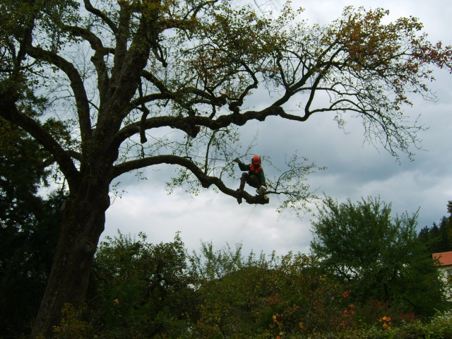 Saw-trimming a pear tree in Kamnik