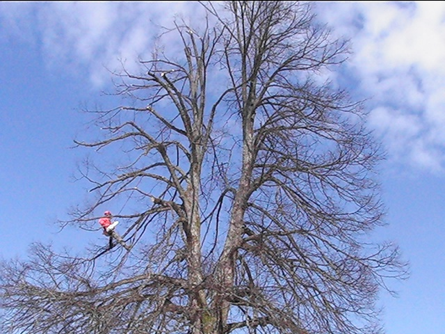 Saw-trimming a linden tree in Grosuplje, by the church