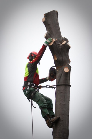 Felling a beech tree in Kamnik
