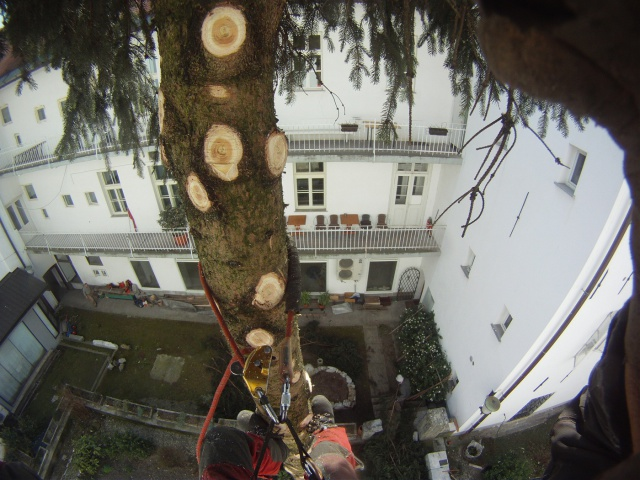 Felling a fir tree