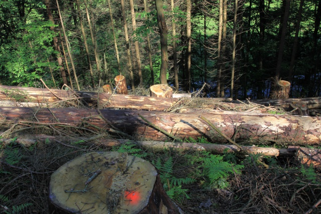 Felling bark beetle-infested trees above a road